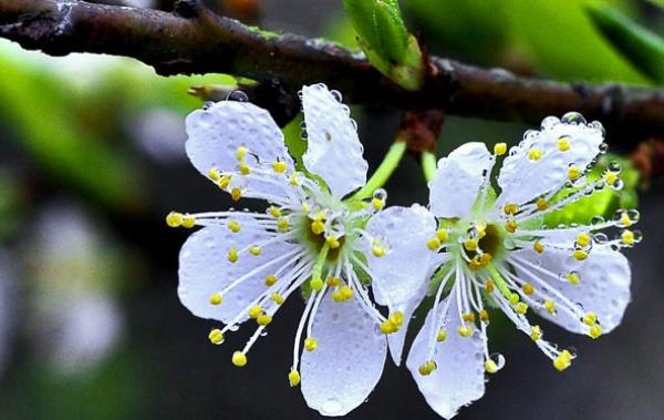Bông hoa mận nở mang màu trắng tinh khôi