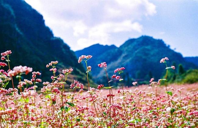 Ngắm hoa tam giác mạch