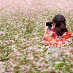Những cánh đồng hoa tam giác mạch nở rộ tại Mộc Châu